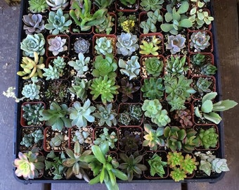 "95 Assorted potted Succulent Collection 2"" plastic pots succulents great for wedding gifts & FAVORS+"