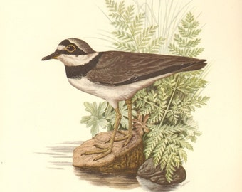1953 Little Ringed Plover - Charadrius dubius curonicus Vintage Offset Lithograph