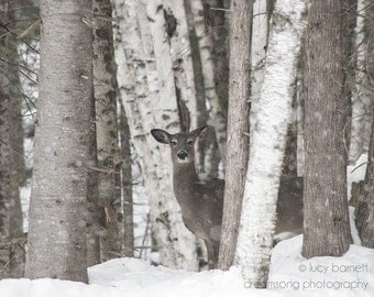Birch and Doe- nature photography, deer, doe, birch trees, pine trees, winter, snow, cottage decor, cabin art, country photographs