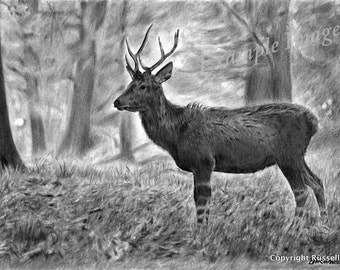 Young Pretender B&W - Wildlife Deer Stag LARGE A4 A3 or A2 Limited Edition Print of original pencil drawing by Stephen Russell of RussellArt