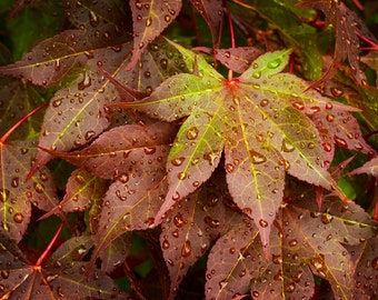 Japanese Maple Leaf with Water Droplets, Nature Photography, Macro, Leaves, Spring, Green, Burgundy, Rust, Home Decor, Wall Art, Color