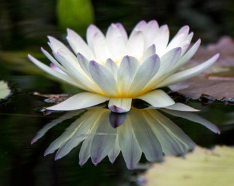 Water Lily Photography, White Flower Wall Art. Flower Photography, Floral Print,  Nature Photography, Waterlily Photo, Floral Photo