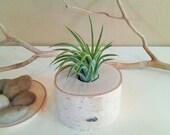 TREASURY ITEM - Air plant terrarium - Birch Tree log -  Tillandsia-  Wedding favors - Terrariums -  Birch tree terrarium - Holiday gift