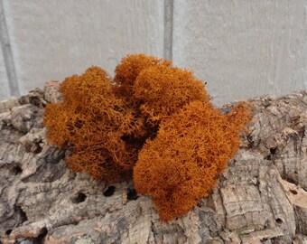 Reindeer Lichen-Autumn Rust