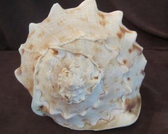 Natural Conch Shell Seashell Sea Shell - Beach or Bathroom Decor - Nautilus