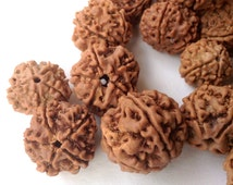 Rudraksha 5 Mukhi 5 Face Large 13mm to 20mm 100 Seed Beads Wholesale Bulk From Vrindavan RB0001