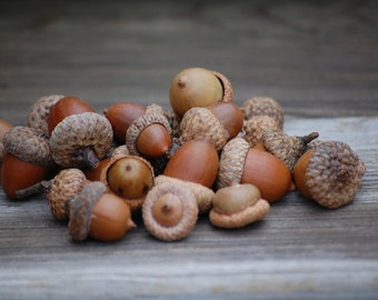 Real acorns A beautiful mix of acorns Wedding decorations, Thanksgiving, Holiday or Christmas Decoration