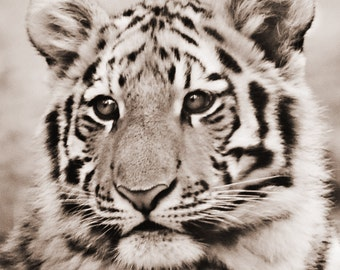 Tiger Photography - Tiger photograph, baby animal photo, tiger art, nature photography, wildlife photography, sepia, tiger picture
