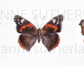 Three British Buterflies, Giclee Print