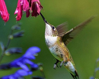 Hummingbird Garden Collection, 6 colorful flowers, 600 seeds, easy annuals for any zone, Salvia, Penstemon, Morning Glories, hummingbirds