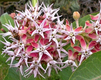 Asclepias speciosa, Showy Milkweed, 25 seeds, butterfly garden, showy pink blooms, cold hardy, zones 3 to 9, drought tolerant, easy to grow