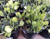 Succulent Plant Mature Silver Dollar Plant. Beautiful green fleshy leaves.