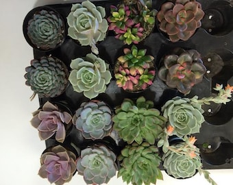 Succulent Plants - 12 Party Pack in pots.  For Terrariums, Wedding, Favors, Centerpieces, Boutonnieres and More