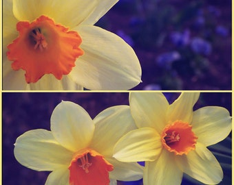Darling Daffodil, Floral, Daffodil, Spring, Fine Art Photography, Wall Decor, SET OF TWO