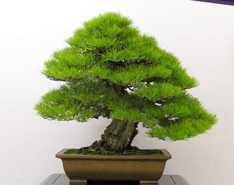 japanese black pine bonsai tree seeds grow your own 5 seeds bonsai tree office