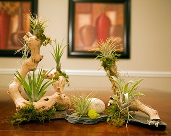 Air Plant (Tillandsia) Grapewood Kit