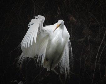 Great Egret - American Egret - Elegant White Bird - Wildlife - New York Spring Bird - Wall decor - Lacy Plumage - Bird (Animal) Photograph