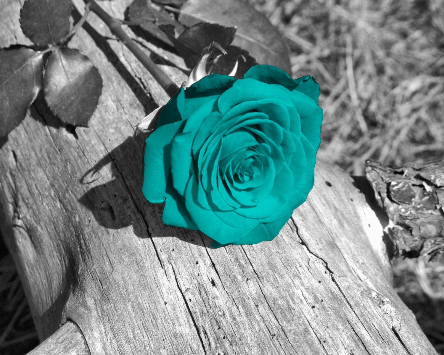 Black white teal wall art photography rose flower floral for Black and white rose wall mural