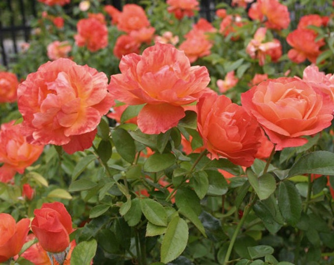 "Livin Easy Rose Plant Orange Floribunda Rose Grown Organic 5"" Deep Root Container Living Easy - Own Root Non-GMO - Spring Shipping"