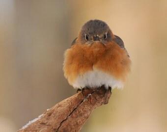 Bluebird Shivering, Fine Art Photo