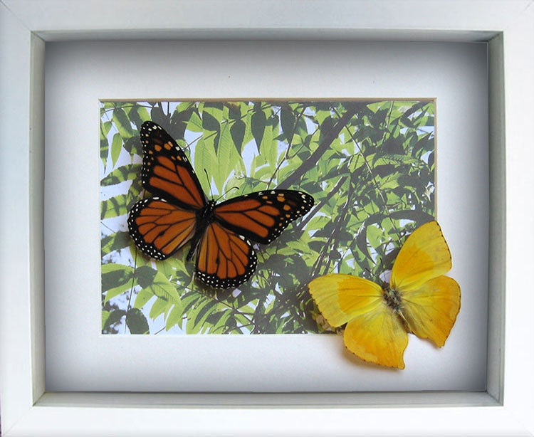 Christmas Gift With Real Butterflies Monarch Phoebis