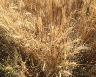 Wheat - Dried Wheat - Wheat Heads - Wheat Bouquet - Wedding Boutineers - Wheat Wreath - Large Wheat Heads - Boutineers for Wedding