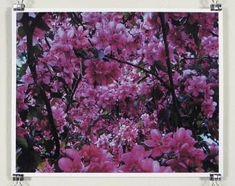 Spring cherry blossoms - 8x10 inch print