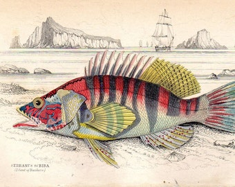 1835 Antique Fish Print Perch Natural History of Fishes Jardine