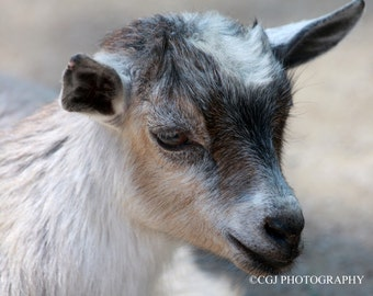 Nature Photography, Goat Photography, Animal Photography, Photography Wall Art, home decor, billy goat,