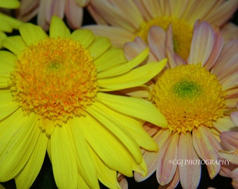 Daisy, yellow daisy, pink daisy, pink, yellow, flowers, springtime, wall art, home decor,