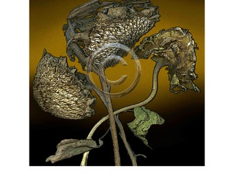 Sunflower 12  Digital print, 8x8 inch image on 11x14 rag paper