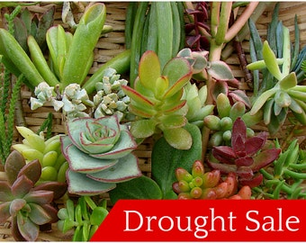 100 Succulent Cuttings - Variety, Perfect for Wreaths, Terrariums, or Container Gardens - Drought Tolerant,Cactus, Aloe