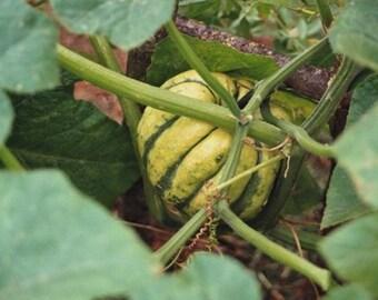 Pumpkin Patidou - Cucurbita Pepo seed