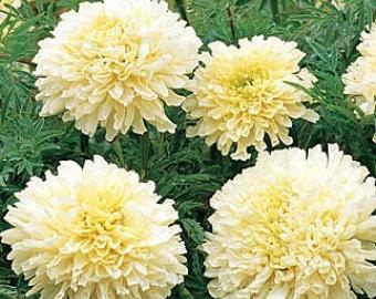 SNOWDRIFT Marigold Seeds - 50+ Seeds