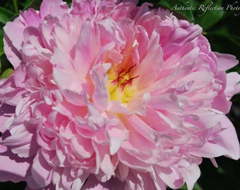 Limited Edition Color/Flowers/Gardens/Popping Peony 8x12 Print