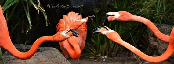 FLAMINGO PARTY LINE ~ New Orleans,Louisiana ~ Audubon Zoo ~ Feathered Friends Series ~ Zoo photography