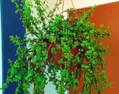Elephant Bush Cutting - Portulacaria afra - Mini Jade - Succulent - Bush - Indoor Plant - Garden - Home Living - House Plant - Xeriscaping