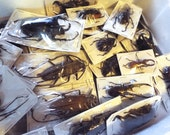 Mixed XL Real Beetles, Package of 3 or 5  Big and Scary!