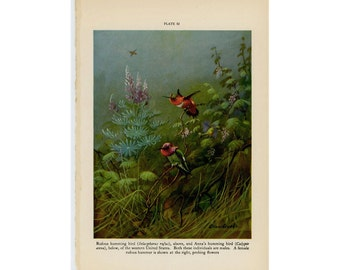 c. 1934 HUMMINGBIRD PRINT - original vintage print - bird print - ornithology - anna's hummingbird & rufous hummingbird color lithograph