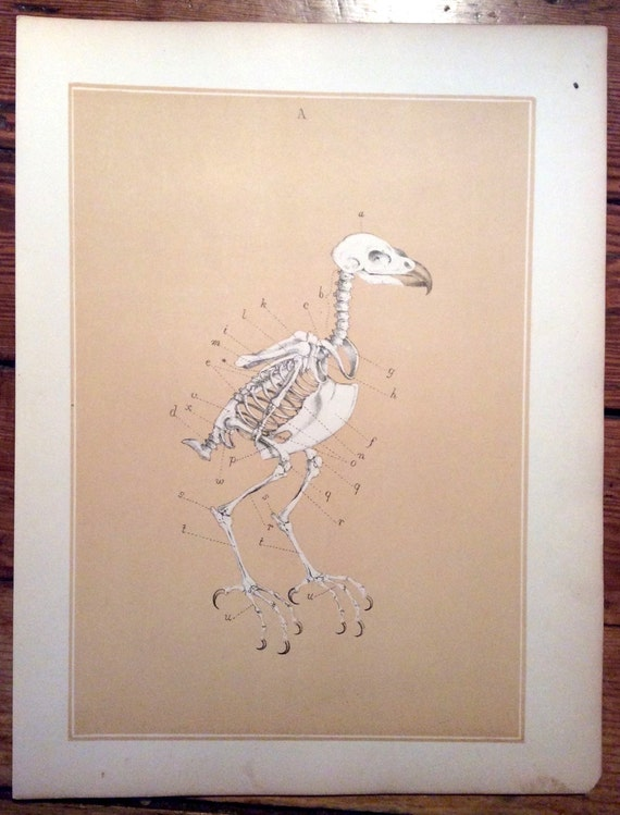 1880 bird anatomy print original antique ornithology lithograph - bird skeleton