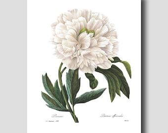 Botanical Illustration, Peony Print (Beach Cottage Art, White Home Decor) --- Redoute Flower Print No. 102