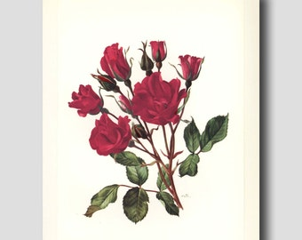 Rose Decor, Red Flower Wall Art, 1960s Botanical Illustration, Vintage Garden Print No. 14