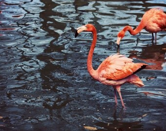 Flamingo Fine Art Photography Pink Coral Peach Navy Blue Bird Animal Feather Tropical Beach Coastal Ocean Cottage Home Decor Wall Art