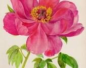 Romantic Peony Print Pink Flower Art Botanical Print Pink Flower Gallery Wall Art Home Library Decor  Shrub 2588