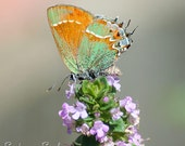 Orange Green Butterfly Photo, nature photography, country home decor, butterfly on pink flowers, wall art print