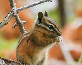 Cute animal photography, chipmunk photo, wildlife photography, nature wall art, country home decor