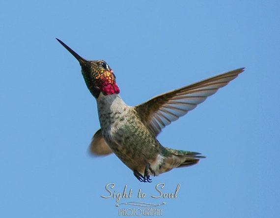 Hummingbird Photography, nature wall art, humming bird photo, animal photography, bird print