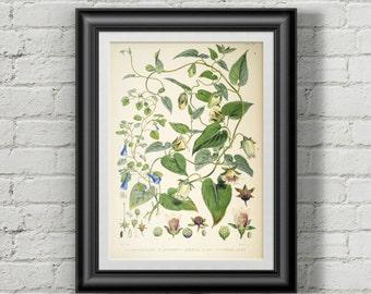 Codonopsis botanical poster. Flower print. Flowers prints wall art Botanical print Wall art prints. Wall art print. Vintage botanical prints