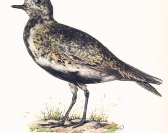 Golden Plover Vintage Bird Print 1950s Illustration Ornithological prints Paper Ephemera