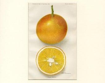 "Matted Antique Fruit Print ""Dugat Orange"" C. 1910 Botanical Print Vintage Decor 11x14"" Gift Idea"